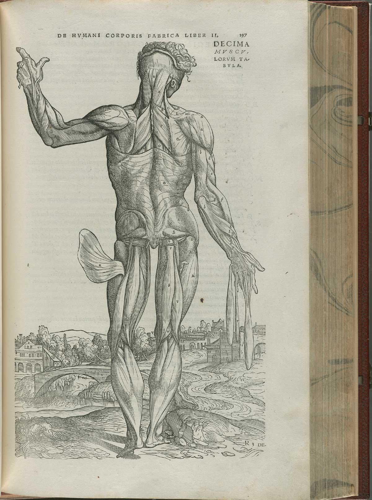 Vesalius. De humani corporis fabrica. p197