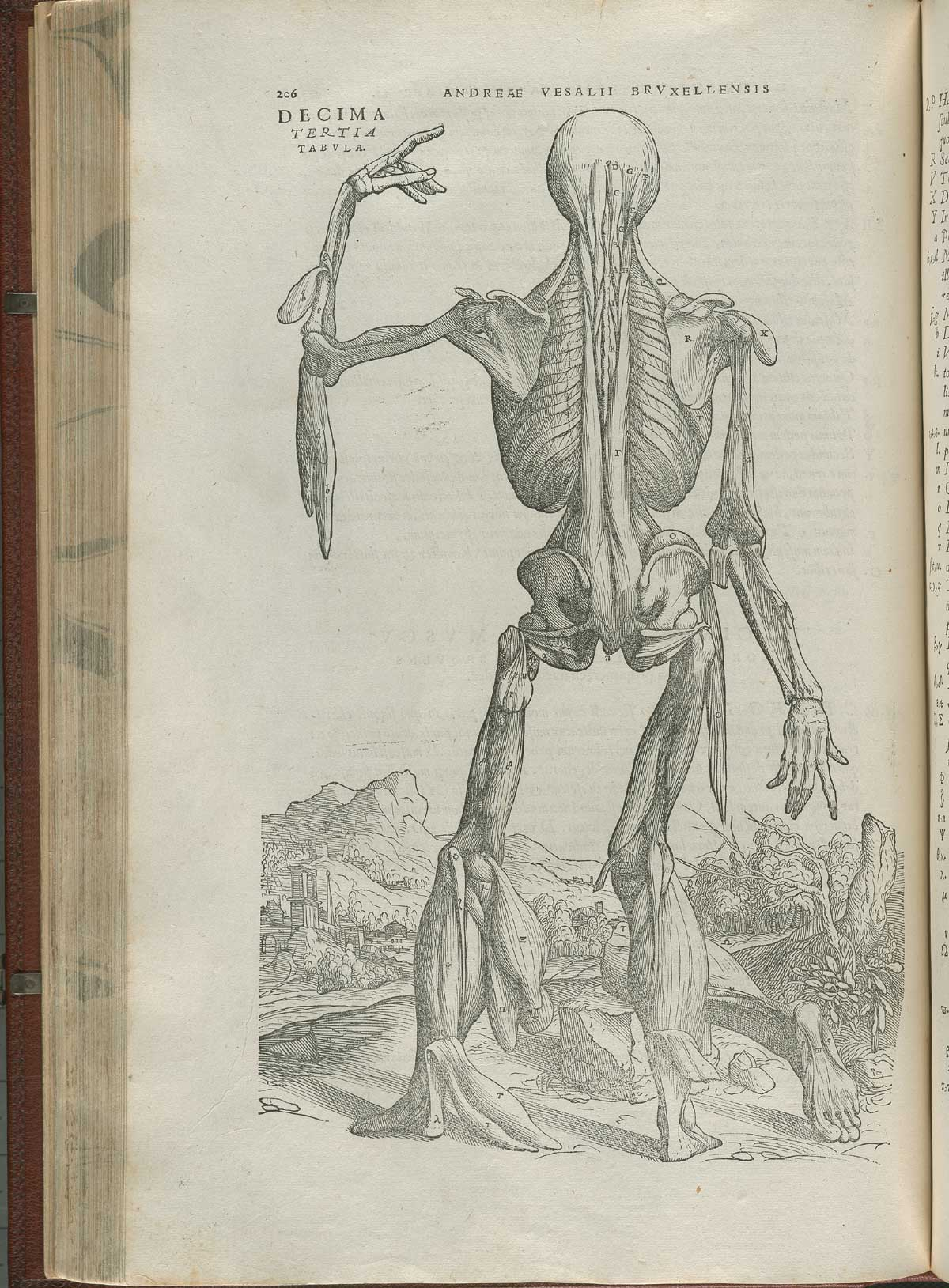 Vesalius. De humani corporis fabrica. p206