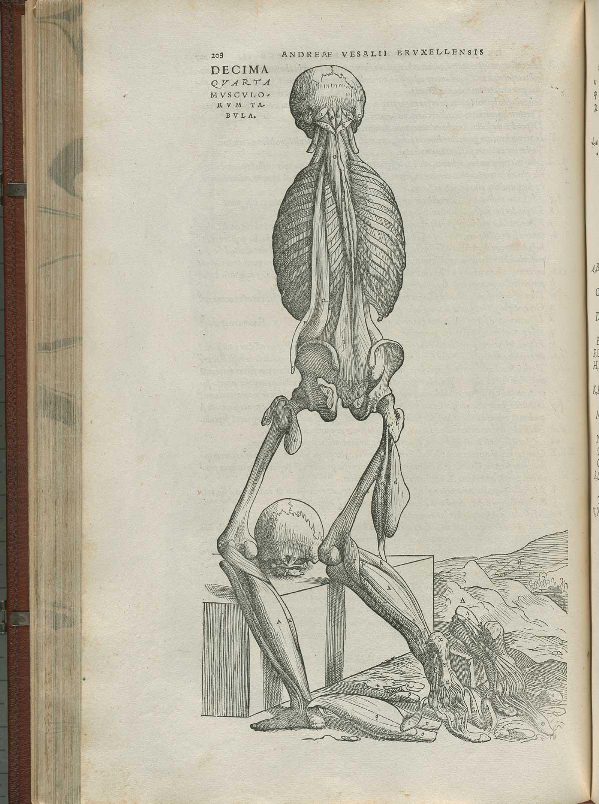 Vesalius. De humani corporis fabrica. p208
